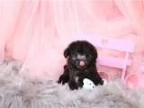 太原出售纯种 娃娃脸泰迪犬 口袋茶杯泰迪熊狗 超小体泰迪