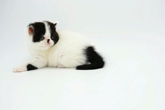加菲幼猫多窝出售 身体健康纯种 花色齐全 公母齐全