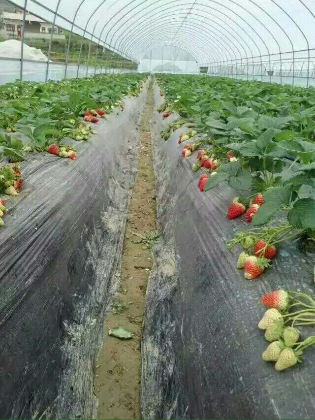 开心草莓采摘乐园