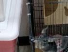 出售龙猫MM带笼子洗澡大量口粮