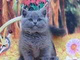 蓝猫纯种矮脚幼猫蓝白蓝胖子宠物猫咪活体
