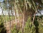 辽宁鞍山葫芦岛锦州大石桥出售柳树苗柳树苗圃