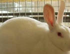 长期出售刚出窝小獭兔.宠物兔.