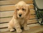 今天你遛狗了吗 想过(可卡)跟你一起散步了嘛
