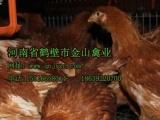 海兰褐青年鸡,鹤壁青年鸡,育成鸡,脱温鸡
