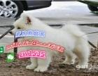 出售萨摩耶犬幼犬活体家养纯种纯白雪橇犬微笑天使中型宠物狗狗