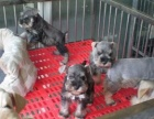出售纯种雪纳瑞幼犬 公母都有 打完疫苗 赛级品质