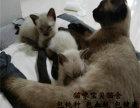 纯种暹罗猫,猫舍繁殖,健康纯种,品质保障