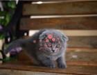 南宁哪里有卖蓝猫的较便宜多少钱一只