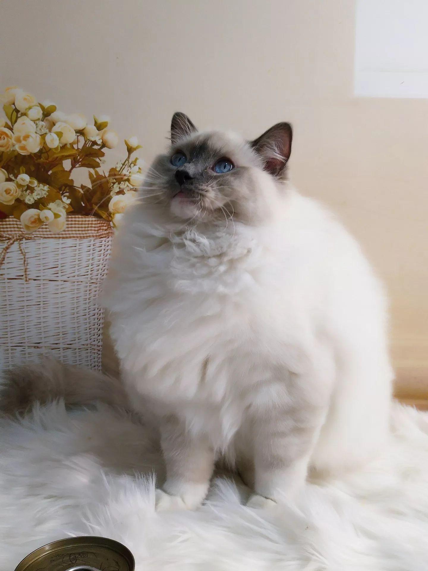 家养纯种布偶猫 上班族 养的猫太多有点累 所以打算出几个