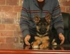 高品质警用级 德国牧羊犬 现场选狗,签订协议价