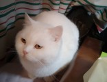 武汉纯白英短小公猫家养转让