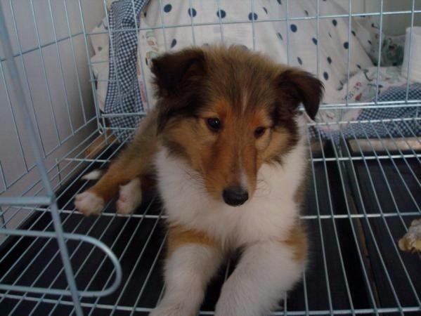 纯种 苏格兰牧羊犬 保健康纯种 可刷卡多只可选北京可送货上门