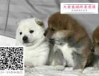 哪里的柴犬最便宜 哪里有纯种柴犬
