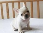 福州本地犬舍出售精品法国斗牛犬包纯包健康签协议三年包换