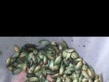 泰国精品罗汉鱼泰金苗红马苗饲料