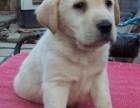 石家庄出售包健康纯种 拉布拉多幼犬 当面检测犬瘟细小