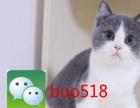 家养纯种蓝猫、蓝白、乳白英短、英国短毛猫价格可议