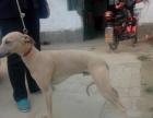 出售格力犬 惠比特犬全活犬