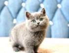 郑州猫舍纯种英短蓝猫,渐层,加菲,美短布偶等品种猫