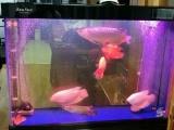 45公分古典金龙鱼