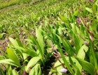 优质中药材种子种苗出售
