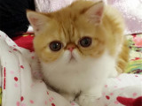 湖北武汉猫舍加菲猫幼崽猫舍特惠