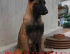 成年马犬价格 马犬幼犬图片