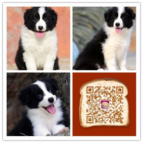 纯种边境牧羊犬价格 杭州哪里卖边境牧羊犬 多少钱