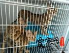 华东区最大豹猫基地 上海爱宠网权威机构 多只挑选