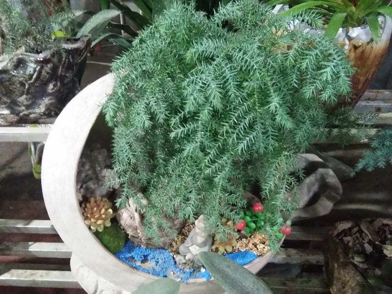 流星花卉批发发财树,幸福树,绿萝,招财树,多肉等花卉植物