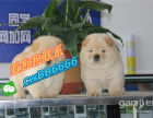 本地正品松狮犬幼犬出售大骨量松狮宝宝憨厚松狮幼崽纯种活体宠物