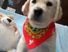 基地直销极品 拉布拉多幼犬 保健康保纯种签售后协议
