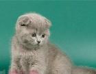 CFA早上好猫舍有实体店萌萌的蓝猫折耳弟弟便宜卖了