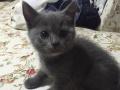 英短蓝猫弟弟妹妹出售