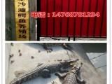 鳄鱼批发销售/山东金沙滩鳄鱼养殖场电话