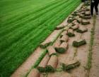 高陵草皮草坪供应基地,价格实惠,欢迎咨询