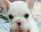 3个月的斗牛犬3000元(公)