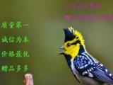 (鹏飞鸟业)出售红子鸟 贝子鸟 黄腹山雀鸟 叫口好