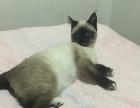 自己大猫生的纯黑色暹罗猫宝宝,小黑猫健康可爱