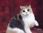 【三顾猫屋】英国短毛猫 蓝色 金色 银色 花色英短