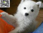 南通哪里有卖银狐犬 南通银狐犬多少钱 南通银狐犬图片