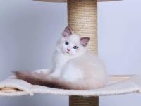 正规养殖基地自家繁育直销纯种布偶貓宝宝