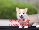 深圳哪里有柯基犬卖 深圳哪里有卖柯基犬 深圳柯基犬多少钱
