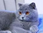 温州哪里有蓝猫卖 蠢萌型 健康无廯送货上门 支持空运