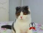 折耳猫母猫 苏格兰折耳猫 蓝白折耳猫 纯种折耳猫