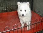 纯种银狐犬价格 纯种银狐犬多少钱