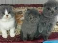 长期出售各种宠物小猫需要联系价格面议
