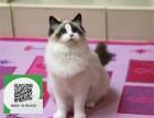 烟台哪里有布偶猫出售 烟台布偶猫价格 烟台宠物狗出售信息