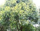 金桂,白桂,黄葛树5-10公分